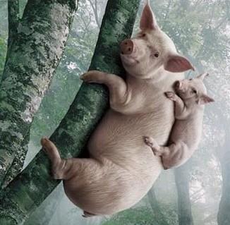 猪被逼急了也会上树.jpg