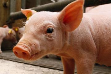 刚刚官宣!海南省儋州市和万宁市发生非洲猪瘟疫情
