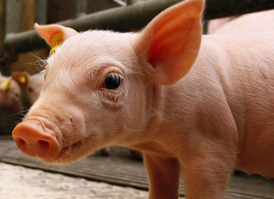 """猪肉保卫战打响,各省份纷纷放大招""""求""""振兴猪业"""
