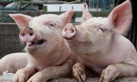 """澎湃新闻消息,""""建议多点实施三点式布局,具体可以按照'一县一集团''一乡一场'和'一村一点'进行全国生猪战略性规划布局。"""""""
